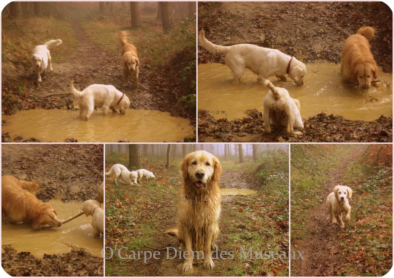 Les goldens et la boue !